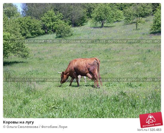Купить «Коровы на лугу», фото № 320483, снято 7 июня 2008 г. (c) Ольга Смоленкова / Фотобанк Лори