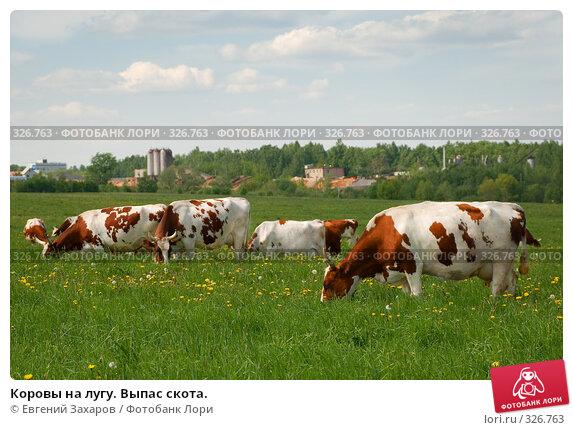 Коровы на лугу. Выпас скота., фото № 326763, снято 28 мая 2008 г. (c) Евгений Захаров / Фотобанк Лори