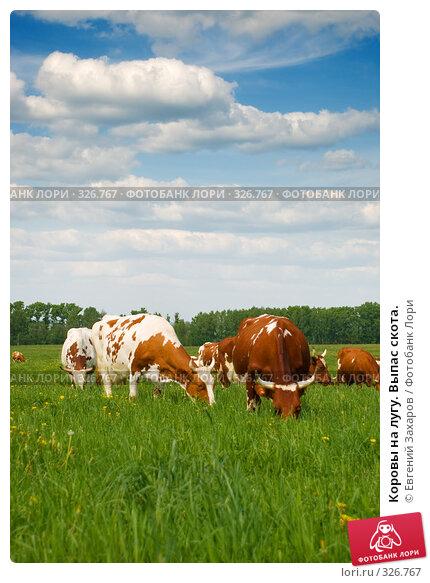 Коровы на лугу. Выпас скота., фото № 326767, снято 28 мая 2008 г. (c) Евгений Захаров / Фотобанк Лори