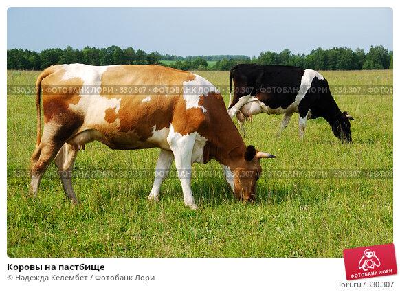 Купить «Коровы на пастбище», фото № 330307, снято 12 июня 2008 г. (c) Надежда Келембет / Фотобанк Лори