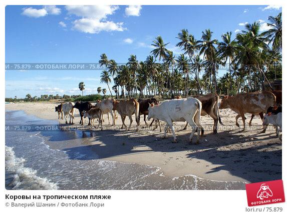 Коровы на тропическом пляже, фото № 75879, снято 30 мая 2007 г. (c) Валерий Шанин / Фотобанк Лори