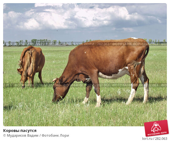 Коровы пасутся, фото № 282063, снято 25 февраля 2017 г. (c) Мударисов Вадим / Фотобанк Лори