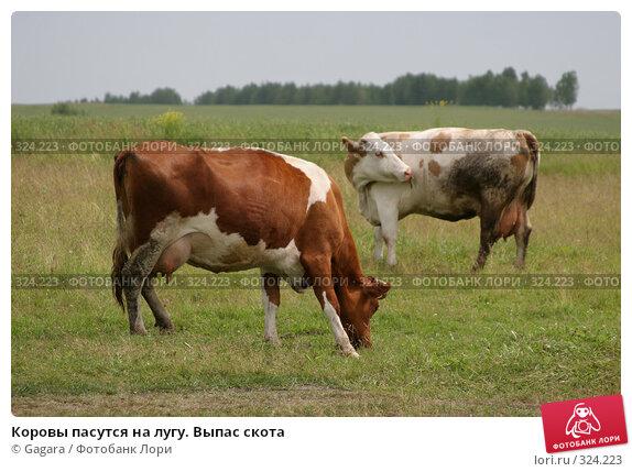 Купить «Коровы пасутся на лугу. Выпас скота», фото № 324223, снято 8 октября 2007 г. (c) Gagara / Фотобанк Лори