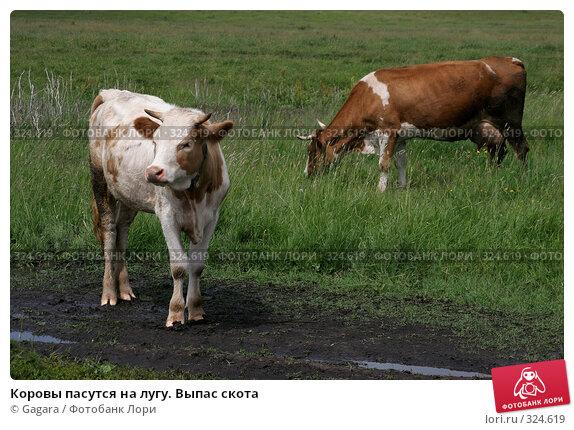 Купить «Коровы пасутся на лугу. Выпас скота», фото № 324619, снято 8 октября 2007 г. (c) Gagara / Фотобанк Лори