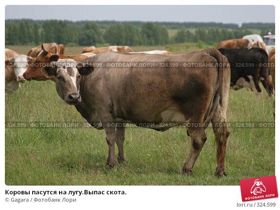 Коровы пасутся на лугу.Выпас скота., фото № 324599, снято 8 октября 2007 г. (c) Gagara / Фотобанк Лори