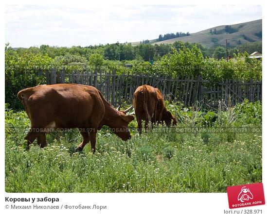 Коровы у забора, фото № 328971, снято 19 июня 2008 г. (c) Михаил Николаев / Фотобанк Лори