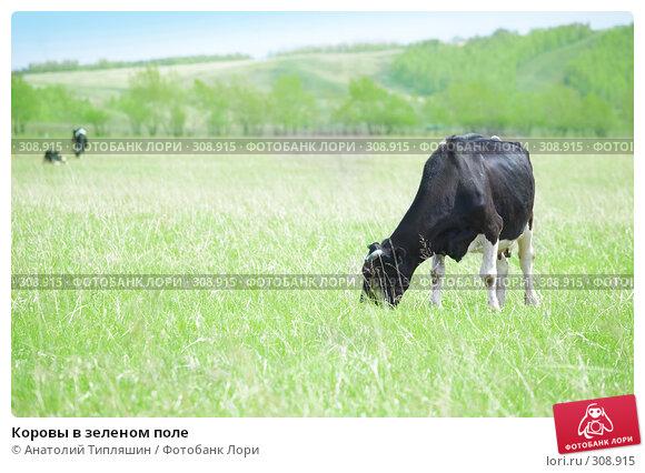 Коровы в зеленом поле, фото № 308915, снято 26 мая 2008 г. (c) Анатолий Типляшин / Фотобанк Лори