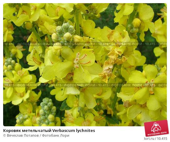Коровяк метельчатый Verbascum lychnites  , фото № 10415, снято 10 июля 2004 г. (c) Вячеслав Потапов / Фотобанк Лори