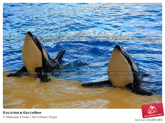 Купить «Косатки в бассейне», фото № 24889983, снято 21 ноября 2015 г. (c) Максим Уткин / Фотобанк Лори