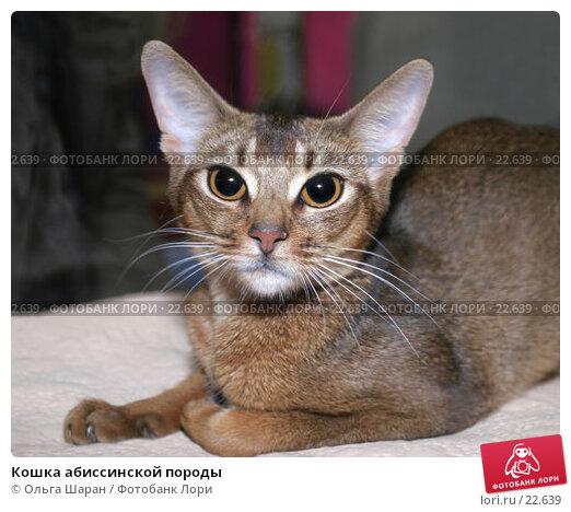 Кошка абиссинской породы, фото № 22639, снято 29 мая 2017 г. (c) Ольга Шаран / Фотобанк Лори