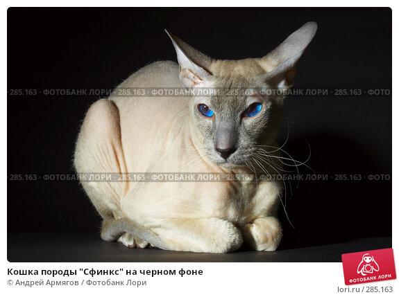 """Купить «Кошка породы """"Сфинкс"""" на черном фоне», фото № 285163, снято 10 ноября 2005 г. (c) Андрей Армягов / Фотобанк Лори"""