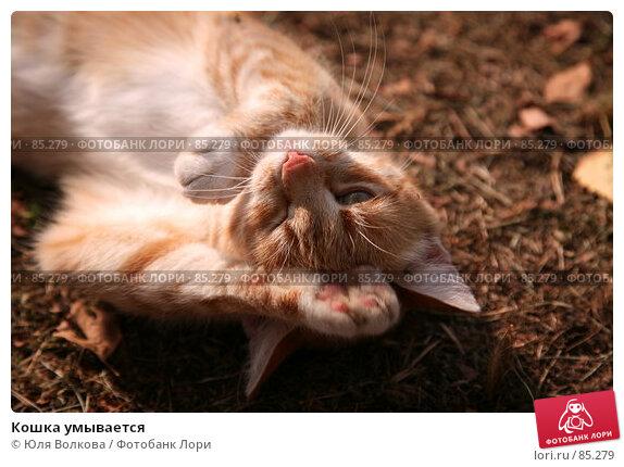 Кошка умывается, фото № 85279, снято 7 сентября 2007 г. (c) Юля Волкова / Фотобанк Лори