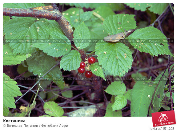 Купить «Костяника», фото № 151203, снято 26 августа 2006 г. (c) Вячеслав Потапов / Фотобанк Лори