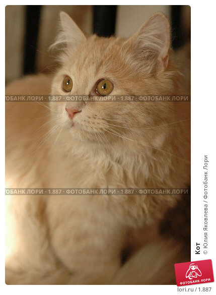 Купить «Кот», фото № 1887, снято 22 марта 2006 г. (c) Юлия Яковлева / Фотобанк Лори