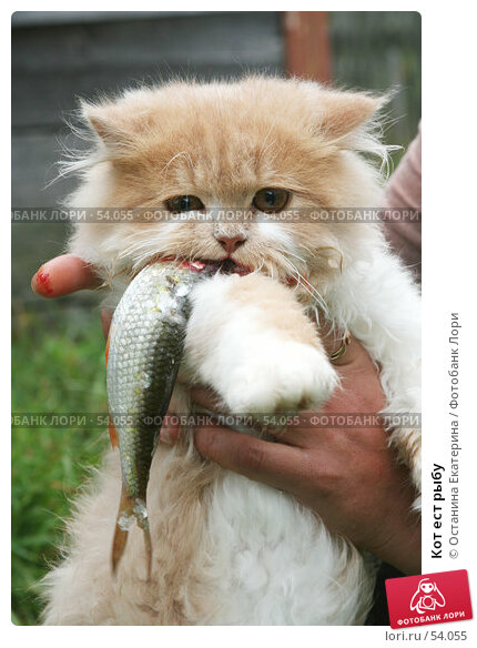 Кот ест рыбу, фото № 54055, снято 27 августа 2006 г. (c) Останина Екатерина / Фотобанк Лори
