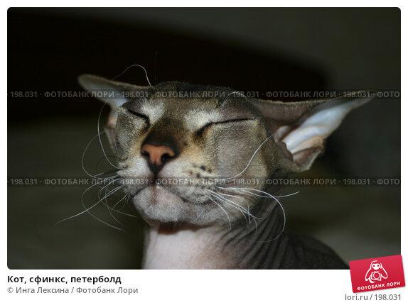 Купить «Кот, сфинкс, петерболд», фото № 198031, снято 17 декабря 2017 г. (c) Инга Лексина / Фотобанк Лори