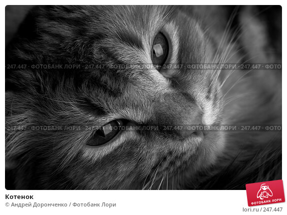 Котенок, фото № 247447, снято 2 марта 2007 г. (c) Андрей Доронченко / Фотобанк Лори