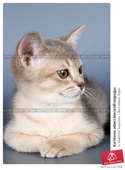 Котёнок абиссинской породы, фото № 27763, снято 7 февраля 2007 г. (c) Vladimir Suponev / Фотобанк Лори