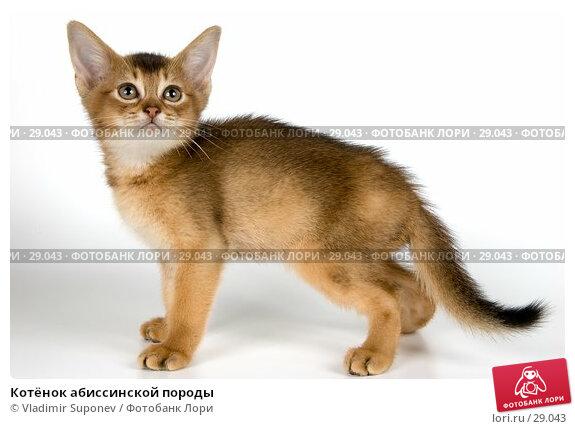 Котёнок абиссинской породы, фото № 29043, снято 31 марта 2007 г. (c) Vladimir Suponev / Фотобанк Лори