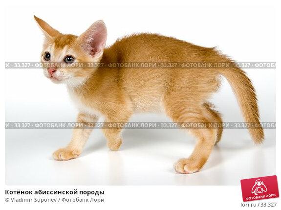 Котёнок абиссинской породы, фото № 33327, снято 8 апреля 2007 г. (c) Vladimir Suponev / Фотобанк Лори