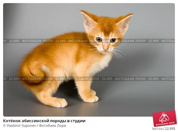 Котёнок абиссинской породы в студии, фото № 22895, снято 10 марта 2007 г. (c) Vladimir Suponev / Фотобанк Лори
