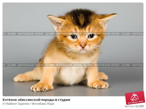 Котёнок абиссинской породы в студии, фото № 22899, снято 15 февраля 2007 г. (c) Vladimir Suponev / Фотобанк Лори