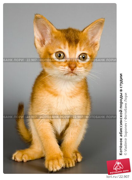 Котёнок абиссинской породы в студии, фото № 22907, снято 10 марта 2007 г. (c) Vladimir Suponev / Фотобанк Лори