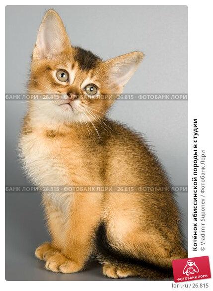 Котёнок абиссинской породы в студии, фото № 26815, снято 17 марта 2007 г. (c) Vladimir Suponev / Фотобанк Лори