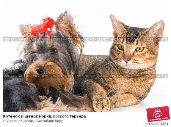 Купить «Котёнок и щенок йоркширского терьера», фото № 225831, снято 11 декабря 2007 г. (c) Vladimir Suponev / Фотобанк Лори