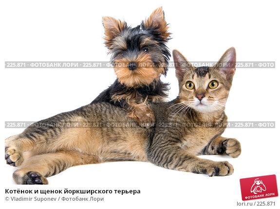 Котёнок и щенок йоркширского терьера, фото № 225871, снято 1 октября 2007 г. (c) Vladimir Suponev / Фотобанк Лори