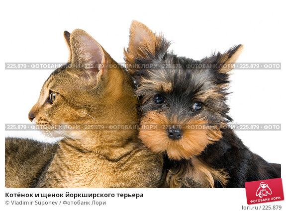 Котёнок и щенок йоркширского терьера, фото № 225879, снято 15 сентября 2007 г. (c) Vladimir Suponev / Фотобанк Лори