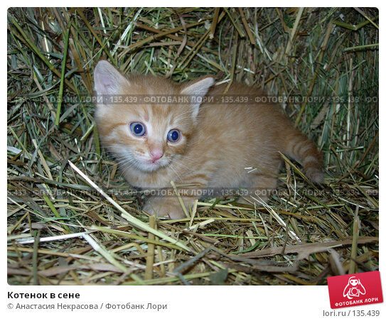 Котенок в сене, фото № 135439, снято 3 сентября 2005 г. (c) Анастасия Некрасова / Фотобанк Лори