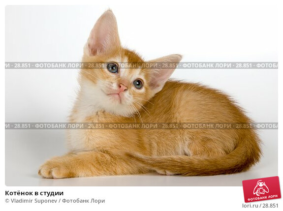 Купить «Котёнок в студии», фото № 28851, снято 31 марта 2007 г. (c) Vladimir Suponev / Фотобанк Лори