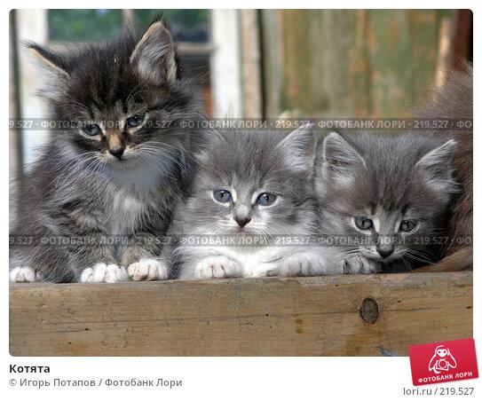 Купить «Котята», фото № 219527, снято 16 декабря 2005 г. (c) Игорь Потапов / Фотобанк Лори