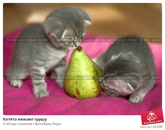Котята нюхают грушу, фото № 29039, снято 13 мая 2006 г. (c) Игорь Соколов / Фотобанк Лори
