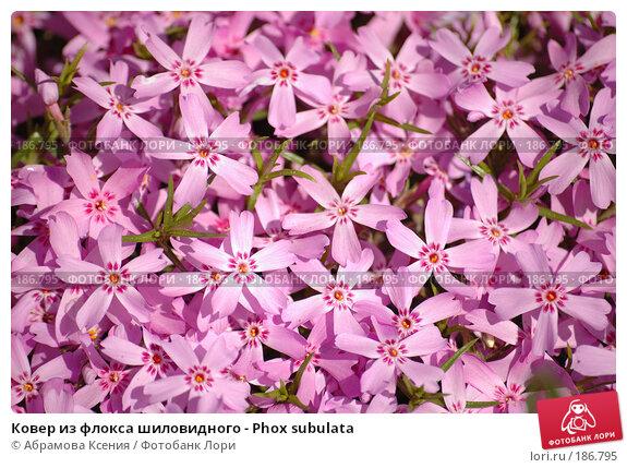 Ковер из флокса шиловидного - Phox subulata, фото № 186795, снято 12 июня 2006 г. (c) Абрамова Ксения / Фотобанк Лори