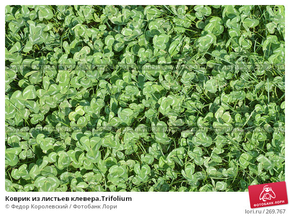 Коврик из листьев клевера.Trifolium, фото № 269767, снято 1 мая 2008 г. (c) Федор Королевский / Фотобанк Лори