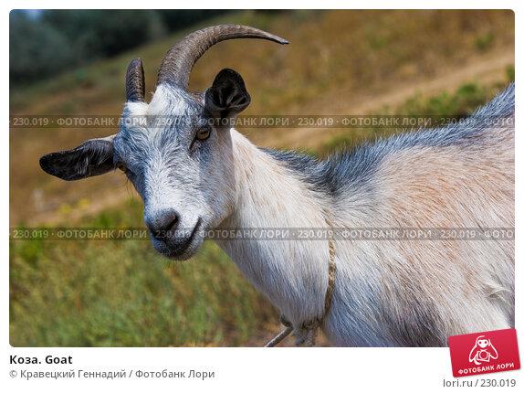 Коза. Goat, фото № 230019, снято 16 августа 2005 г. (c) Кравецкий Геннадий / Фотобанк Лори