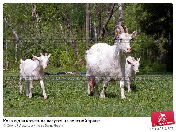 Коза и два козленка пасутся на зеленой траве, фото № 318327, снято 18 мая 2008 г. (c) Сергей Лешков / Фотобанк Лори