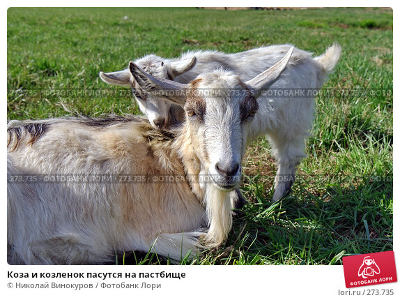Купить «Коза и козленок пасутся на пастбище», эксклюзивное фото № 273735, снято 22 апреля 2018 г. (c) Николай Винокуров / Фотобанк Лори