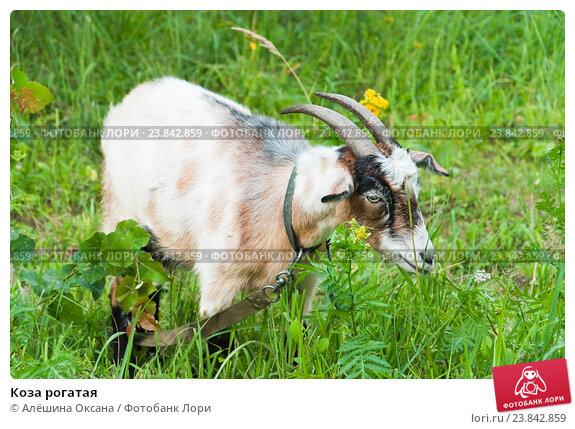 Купить «Коза рогатая», эксклюзивное фото № 23842859, снято 15 июля 2016 г. (c) Алёшина Оксана / Фотобанк Лори