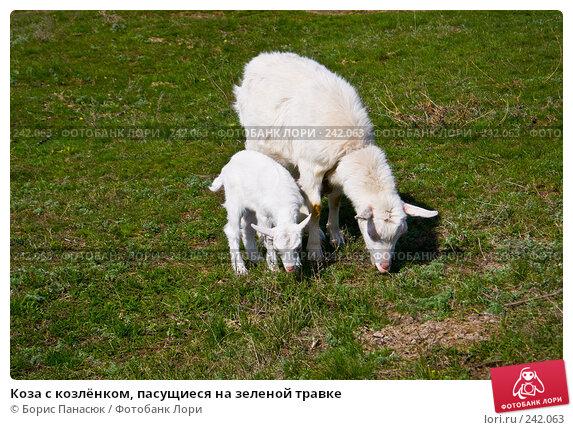 Коза с козлёнком, пасущиеся на зеленой травке, фото № 242063, снято 29 марта 2008 г. (c) Борис Панасюк / Фотобанк Лори