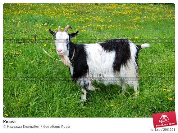 Купить «Козел», фото № 296291, снято 19 мая 2008 г. (c) Надежда Келембет / Фотобанк Лори