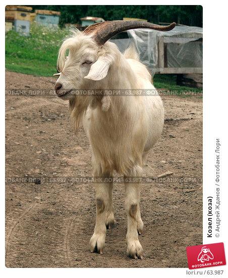 Козел (коза), фото № 63987, снято 21 июля 2007 г. (c) Андрей Жданов / Фотобанк Лори