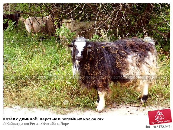 Козёл с длинной шерстью в репейных колючках, фото № 172947, снято 8 сентября 2006 г. (c) Хайрятдинов Ринат / Фотобанк Лори