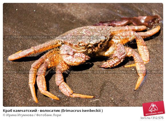Краб камчатский - волосатик (Erimacrus isenbeckii ), фото № 312575, снято 6 июня 2008 г. (c) Ирина Игумнова / Фотобанк Лори