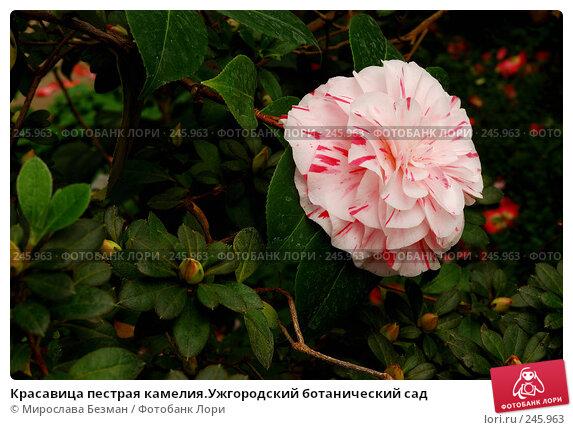 Красавица пестрая камелия.Ужгородский ботанический сад, фото № 245963, снято 18 марта 2008 г. (c) Мирослава Безман / Фотобанк Лори