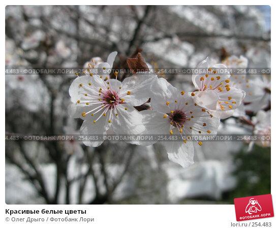 Красивые белые цветы, фото № 254483, снято 17 марта 2008 г. (c) Олег Дрыго / Фотобанк Лори