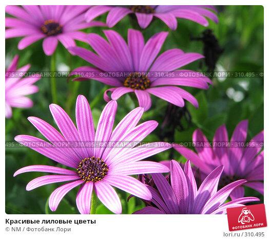Красивые лиловые цветы, фото № 310495, снято 5 апреля 2008 г. (c) NM / Фотобанк Лори