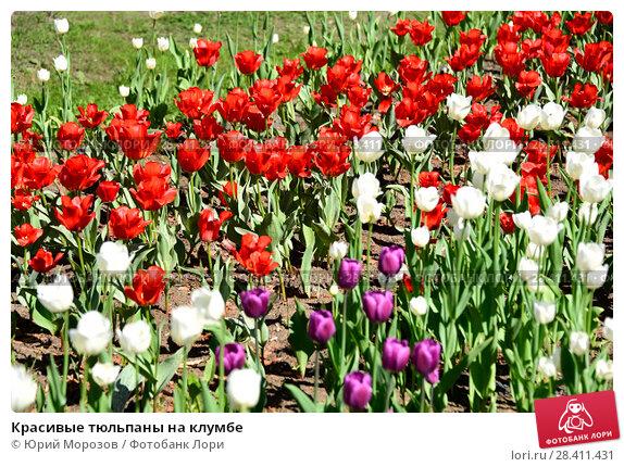 Купить «Красивые тюльпаны на клумбе», фото № 28411431, снято 9 мая 2018 г. (c) Юрий Морозов / Фотобанк Лори